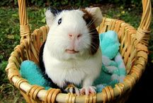 Guinea pigs / This is a board all about guinea pigs