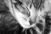 Feline / Cats