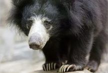 Sloth Bear aka Baloo