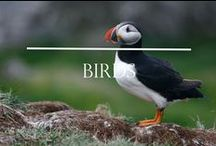 Birds of Iceland / The birdlife in Iceland is as dramatic and varied as the rugged landscape that provides a spectacular setting to view nearly 300 different species of birds. The coastal cliffs alone carry a mind-boggling array of seabirds in massive numbers.