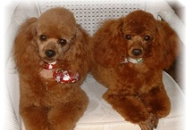 POODLE LOVE ❤❤  / I have alway's loved poodles!  We love you Simon!!♥♥