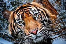 Tiger (+ Wildlife Protection)