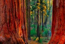 Magestic Sequoia Lampe Berger / New fragrance Summer 2016.  Majestic Sequoia (Majestueux Sequoia) is woodsy, spicy and invigorating, with scents of pine needles, grapefruit, Ocean, cayenne pepper, sequoia, vetiver, leather, and oak moss.  #MagesticSequoiaLampeBerger / by Ann's Fine Gifts, Houston, TX