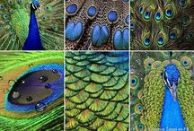 ~Peacock Feather Obsession~ / Everything peacock feathers or peacock feathers related / by Lauren Stern
