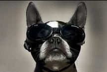 French Bulldog Addicted