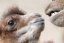 Camels / by Mally T