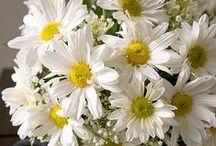 Daisies  /  Margaridas / My favorite flowers. Minhas flores favoritas.