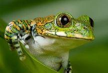 Frogs  /  Sapos / Frogs. Sapos.