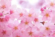 桜色 Pink of Nippon