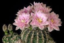 Virágzó kaktuszok !