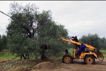 Farming for Olives