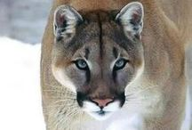 Cougar Invictus..... by Medusa Redux / aged babes.....a Home for all with a sense of Quality....--all members of this board should help the other members to build up her accounts and respect her work, please....Spectre---- .....let us work together to build a terrific board....be free to invite your friends when you want to join comment on the last pin.....Spectre is ready to help to make your Pin Life easier...... RULES OF SPECTRE.........http://www.pinterest.com/medusaredux/