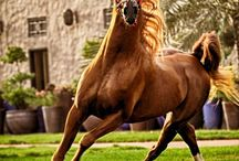 Horses / In particular Arabian Horses
