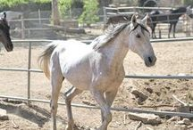 "Solar / Solar (registered as ""Solarplex"" - has an Equibase profile) was turned into Riverside Animal Control in an emaciated state and since they are not set-up to care for a horse in his condition he was in immediate need of rescue. Even though we had already accepted four emaciated rescues in the prior week, we couldn't turn him down. Seriously, look at that handsome mug. Could you say no? Nah, us either!"
