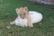 """Lions / Makulu and Kaluma were born on December 10th 2014. They are captive bred and can therefore not be released into the wild. Tenikwa does not support canned hunting or """"cub cuddling"""" and these lions will live out their natural lives at Tenikwa raising awareness about the indigenous wild cats of South Africa and other wildlife facing human/wildlife conflict."""