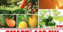 MOSCA MEDITERRANEA DELLA FRUTTA / Raccolta di articoli e informazioni sulla mosca mediterranea che infesta: agrumi, ciliegi, alberi da frutta, ulivi.  Le ricette per contrastarla con le trappole biologiche a cattura massale su www.taptrap.com