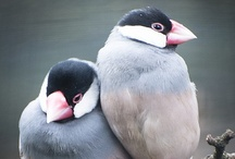 buncho / java sparrow / I love buncho.
