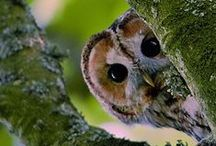 Owls / I don't know what it is, but I simply love these birds!