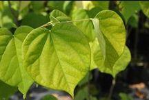 Arbustes et arbres - feuilles en forme coeur / Shrubs and trees - heart-shaped leaves