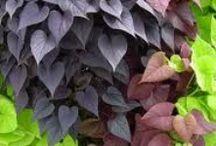 Vivaces à feuilles en forme de coeur - Perennial heart-shaped leaves / plantes du jardin dont les feuilles rappellent la forme d'un coeur