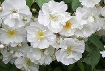 Rosiers lianes  -  Rambling Roses