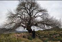 Micocoulier, du provençale....Celtis australis / Un brève histoire d'un arbre vieux comme la civilisation méditerranéenne