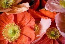 Fleurs imitation papier - paper-like flowers / Coquelicots, pavots,méconopsis, argemone, eomecon, romneya, hylomecon, escholtzia, roemeria, stylomecon, pivoines et cistes