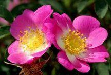 Rosiers à fruits décoratifs - roses with ornamental hips / des rosiers beaux même en hiver