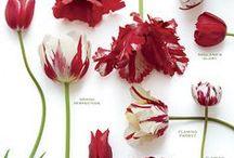 TULIP / La tulipe comme symbole