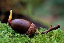 Acorn fruit of the oak tree - Le fruit du chêne / les glands sous toutes leurs formes