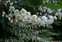 CLETHRA / Arbustes discrets pour milieux frais dont l'intérêt est leur floraison, leur feuillage ou leur parfum