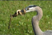 Bird and snake - Ophiophagy - Ophiophagie / Ces oiseaux mangeurs de reptiles