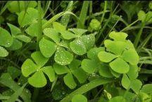 Trifolium, Oxalis, Parochetus, Medicago ...shamrock, clover, trèfle,... / trèfles à 3 ou 4 feuilles.....