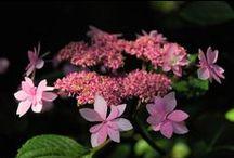 """HYDRANGEA / Des fleurs en """"pompon"""" en """"dentelle"""" pour les bouquets, l'ombre...le soleil, en petit buisson, en haie.... / by Emmanuel REGENT"""