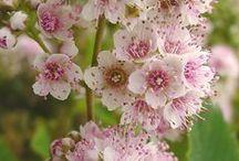 Spirée - Spiraea - Spirea - Meadowsweet - Spiersträucher / Les spirées sont des arbustes dont la taille varie de 0,5 m à 2 m suivant les espèces. Il en existe plus d'une centaine d'espèces à floraison blanche ou de diverses teintes de rose, floraison de printemps ou floraison d'été.