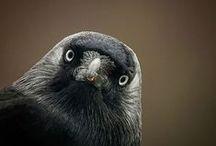 CORVIDAE, corbeaux, corneilles, pies et autres geais - Crows - Raven - Rabe - Cuervo - カラス / La grande famille des corbeaux