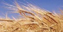 Over graan... / Verschillende broden komen van verschillende graansoorten...