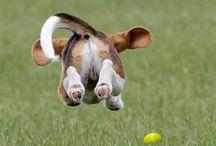 Beagles / Beagles forever!