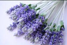lavendel / lavender / by evelien