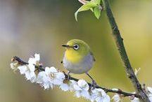 Birds【Japanese white-eye】