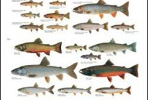 Trout and Salmon / Different species of fish.