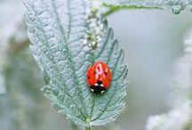 lieveheersbeestjes / ladybugs / by evelien