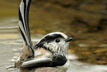 Birds【カラ類】 / 山野の小鳥類の総称。 シジュウカラは別にボード有。ヤマガラ、ヒガラ、コガラ、ゴジュウカラ、エナガも含めてます。