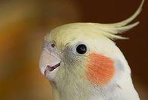 Birds オカメ【You're sweet friends】