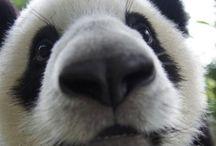 Pandas, Pandas, Pandas