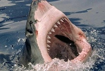 you will never be friends with a SHARK