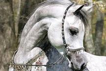 Arabians - grey, white, Shagya
