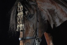 Andalusians & Lusitanos & Lippizanners