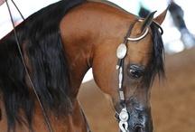 Arabians - bay, brown, dun, buckskin