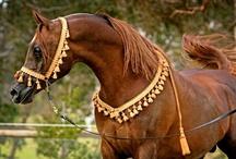 Arabians - sorrel, Chestnut, palomino